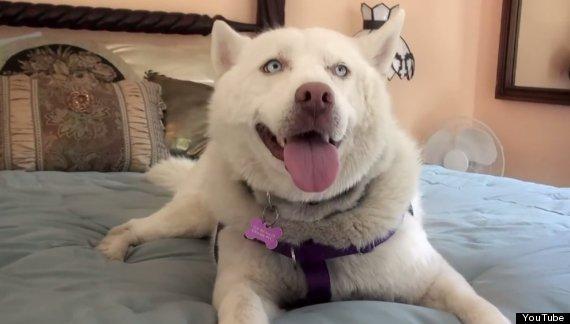 Miley chienne husky abandonnée dans une décharge
