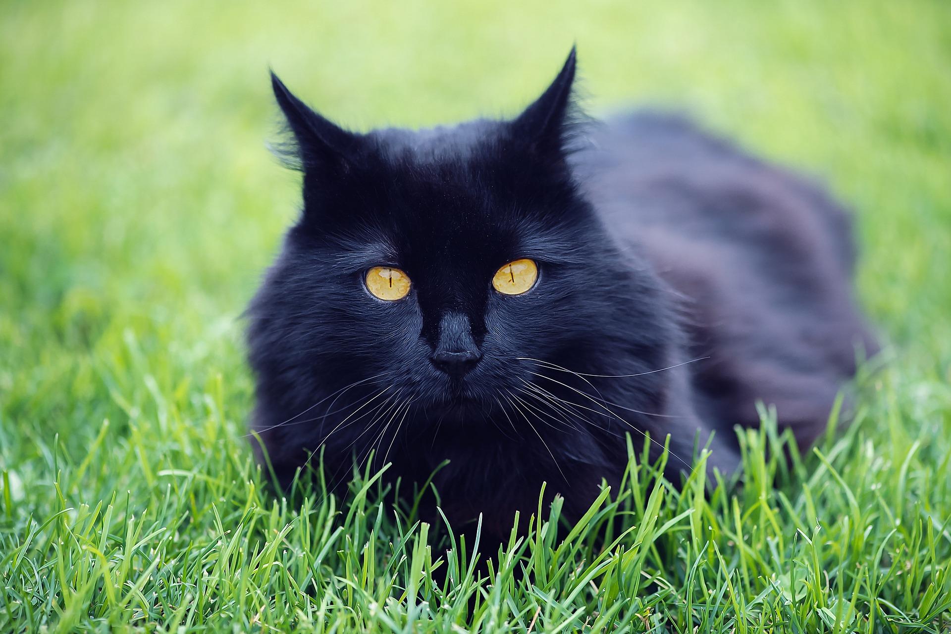 le chat noir est il plus abandonn. Black Bedroom Furniture Sets. Home Design Ideas